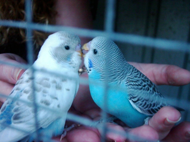 Our Feathered Friends Budgie11