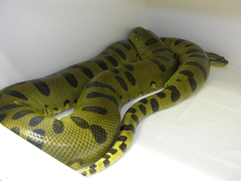 Anaconda vert hypomélanistique Dscn1710