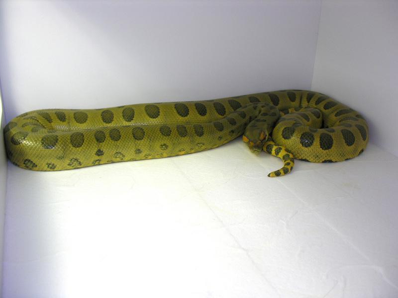 Anaconda vert hypomélanistique Dscn1810