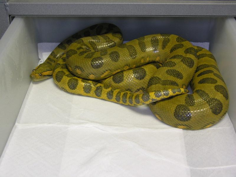 Anaconda vert hypomélanistique Dscn1811