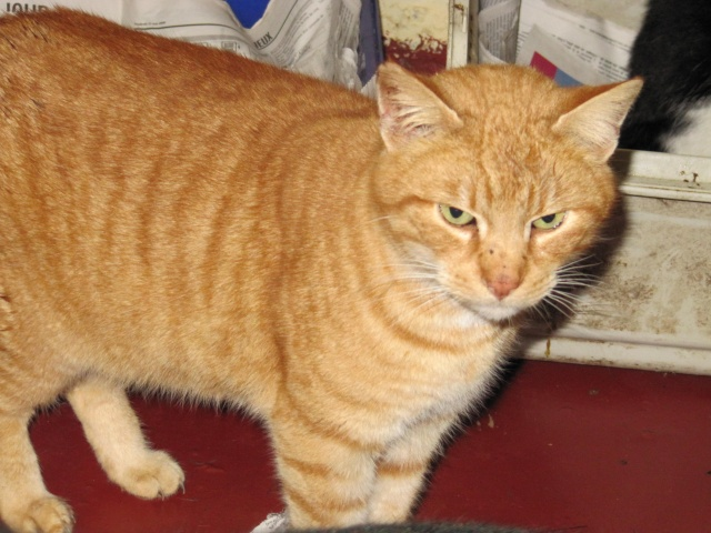 Phantom - tigré roux - né en juillet 2003 *** Img_1023