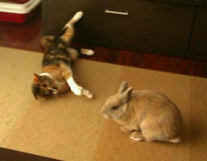 Conejo en adopción Imagen33