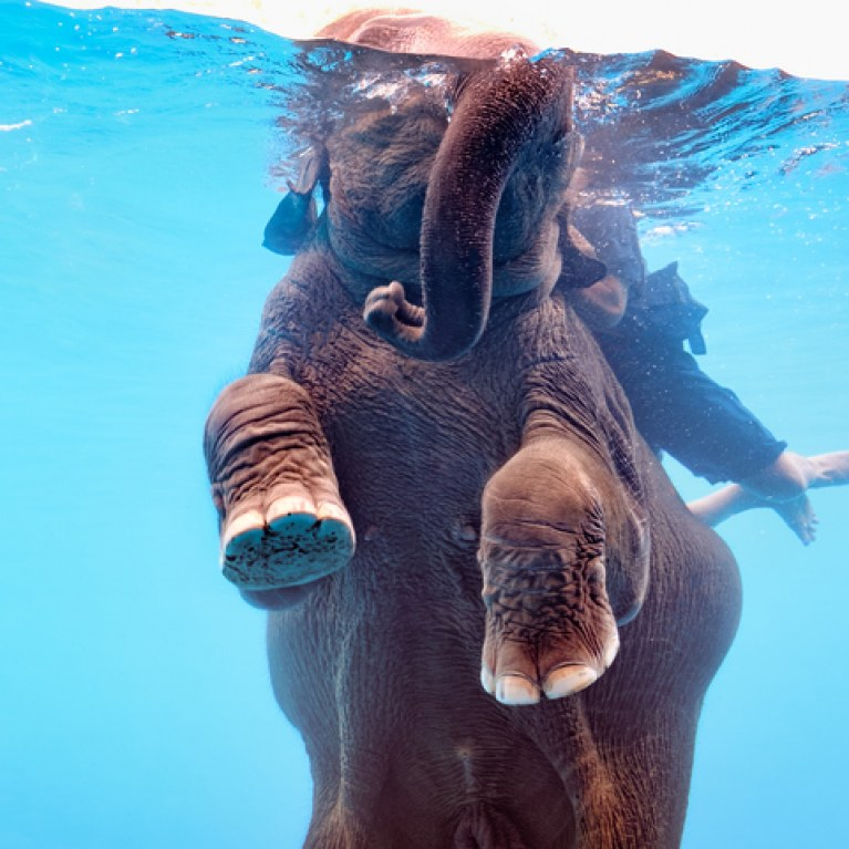 Des éléphants forcés de nager dans un aquarium pour divertir les touristes Scanda10