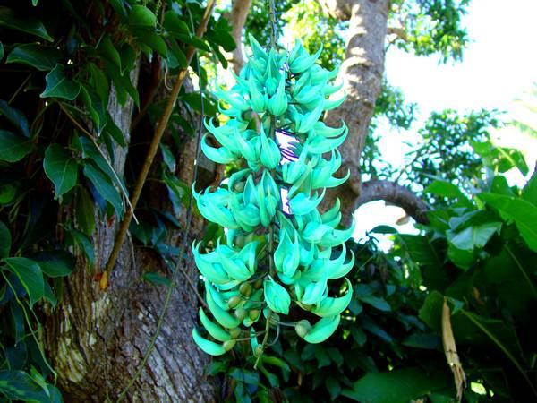 Liane de Jade. Strongylodon macrobotrys. Fleur-10