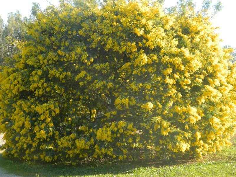 ça commence a fleurir...(Mimosa, Acacia dealbata) - Page 4 Plantu20