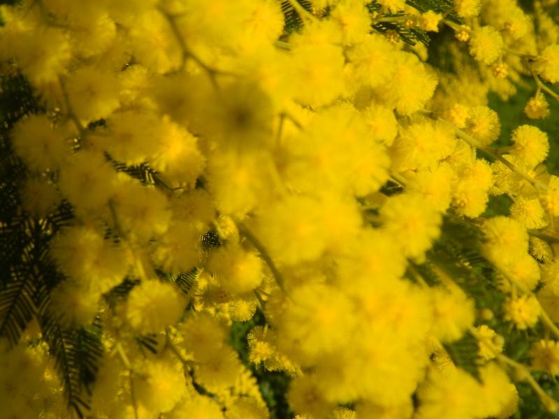 ça commence a fleurir...(Mimosa, Acacia dealbata) - Page 4 Plantu21