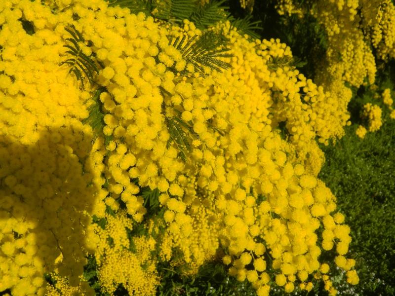 ça commence a fleurir...(Mimosa, Acacia dealbata) - Page 4 Plantu23
