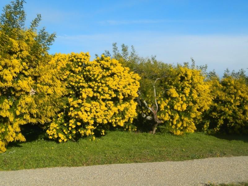 ça commence a fleurir...(Mimosa, Acacia dealbata) - Page 4 Plantu24