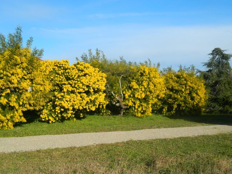 ça commence a fleurir...(Mimosa, Acacia dealbata) - Page 4 Plantu26