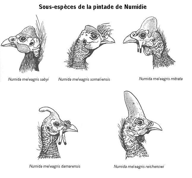 Les PINTADES Pintad10
