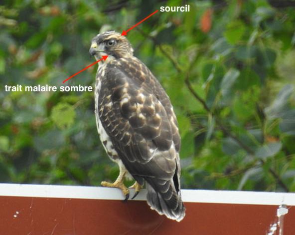Oiseau de proie Petite10