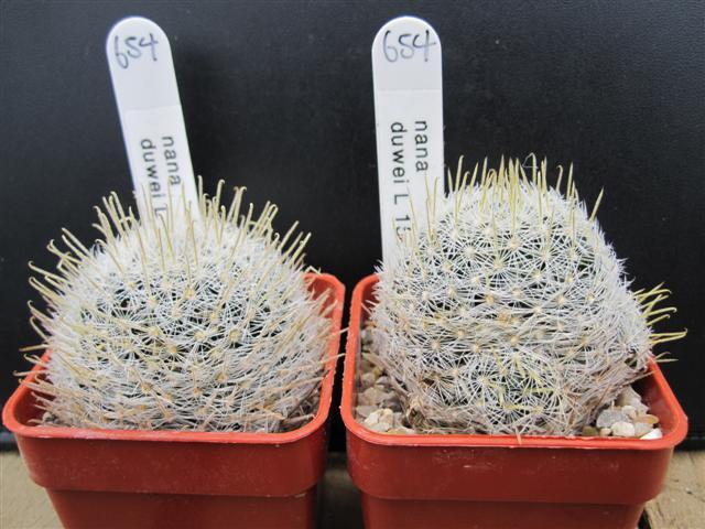 Mammillaria vergelensis n.n. ?? L_157711