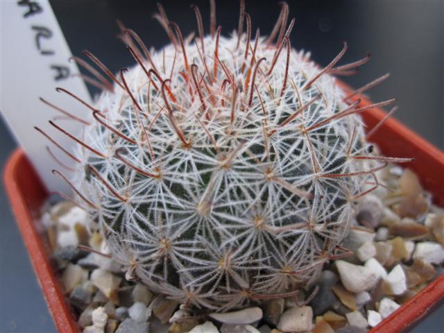 Mammillaria vergelensis n.n. ?? Piltzi10