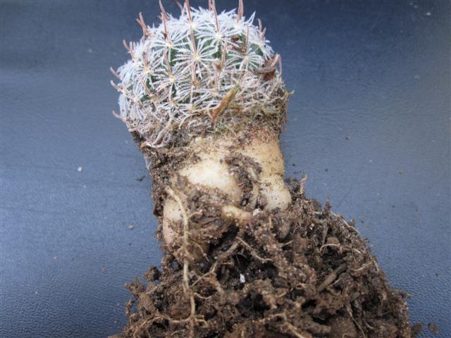 Mammillaria vergelensis n.n. ?? Piltzi14