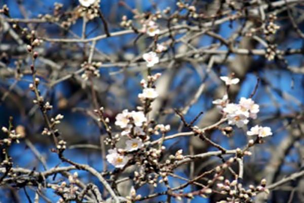 Mevsimi şaşıran badem ağacı çiçek açtı Xyoxeh10