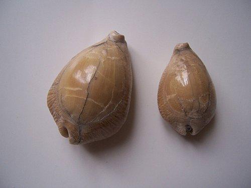 Cypraeidae - † Barycypraea beberkiriana (Martin, 1899) - Tortonien, Java, Indonésie 100_4110