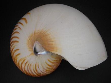 Nautilus repertus - Iredale, 1944 - nomen dubium  36875310