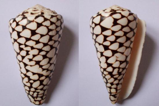 Les cones des Philippines... 56530510