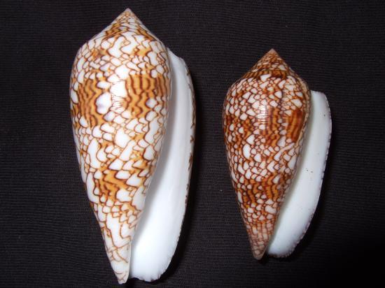 Les cones des Philippines... Dscf2113