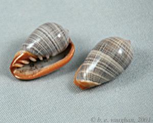 Marginella (Lamarck, 1799) - Pour les collectionneurs de Marginelles Margin10