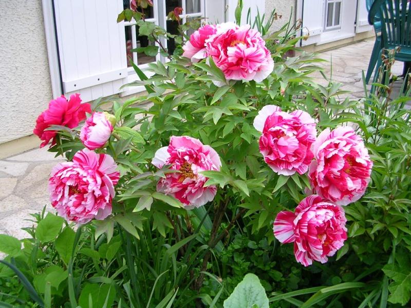 ma pivoine arbustive bicolore Dscn1510