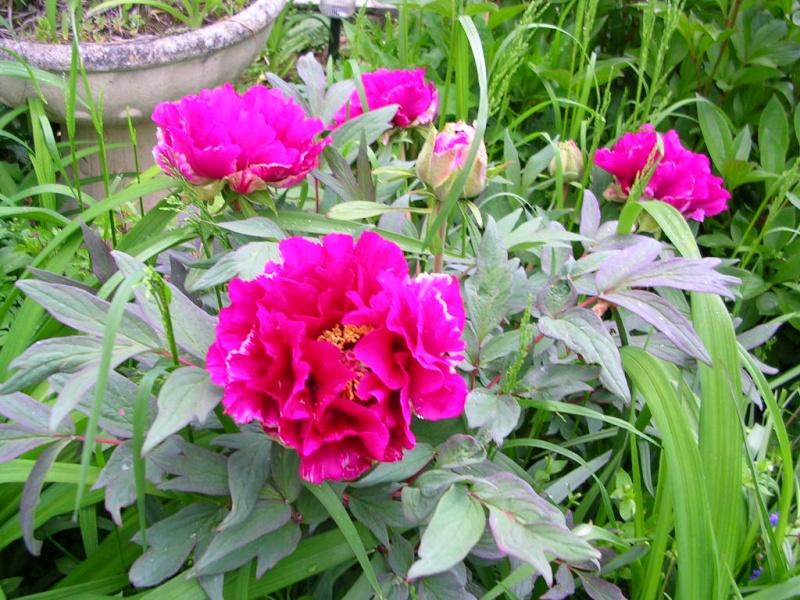 ma pivoine arbustive bicolore Dscn1511