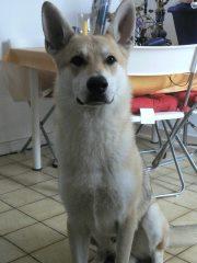 URGENT cause divorce: X chien loup tchèque, 7 ans (60) Folken13