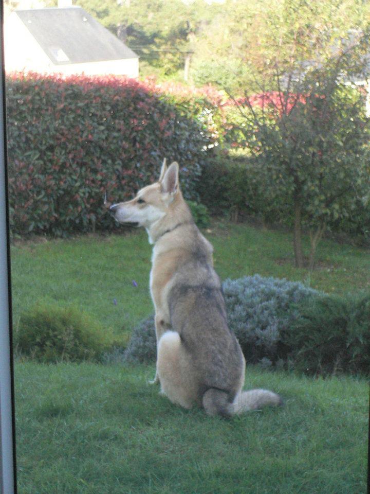 URGENT cause divorce: X chien loup tchèque, 7 ans (60) Folken14