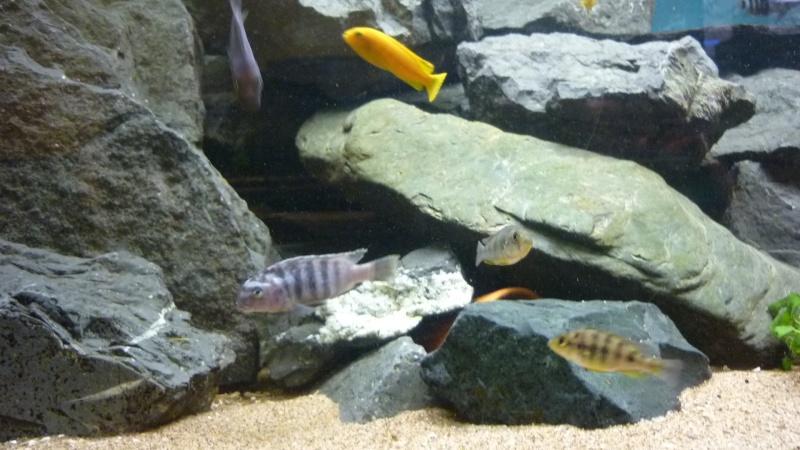 AQUA-REPTI-SUD (club aquariophile et terrariophile a harnonc P1060213