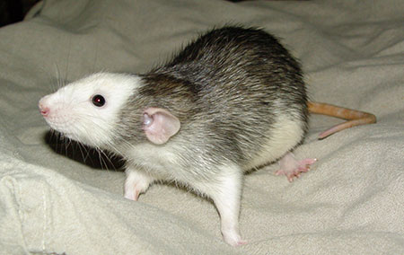 Hooded / Opossum/DU Chinch10