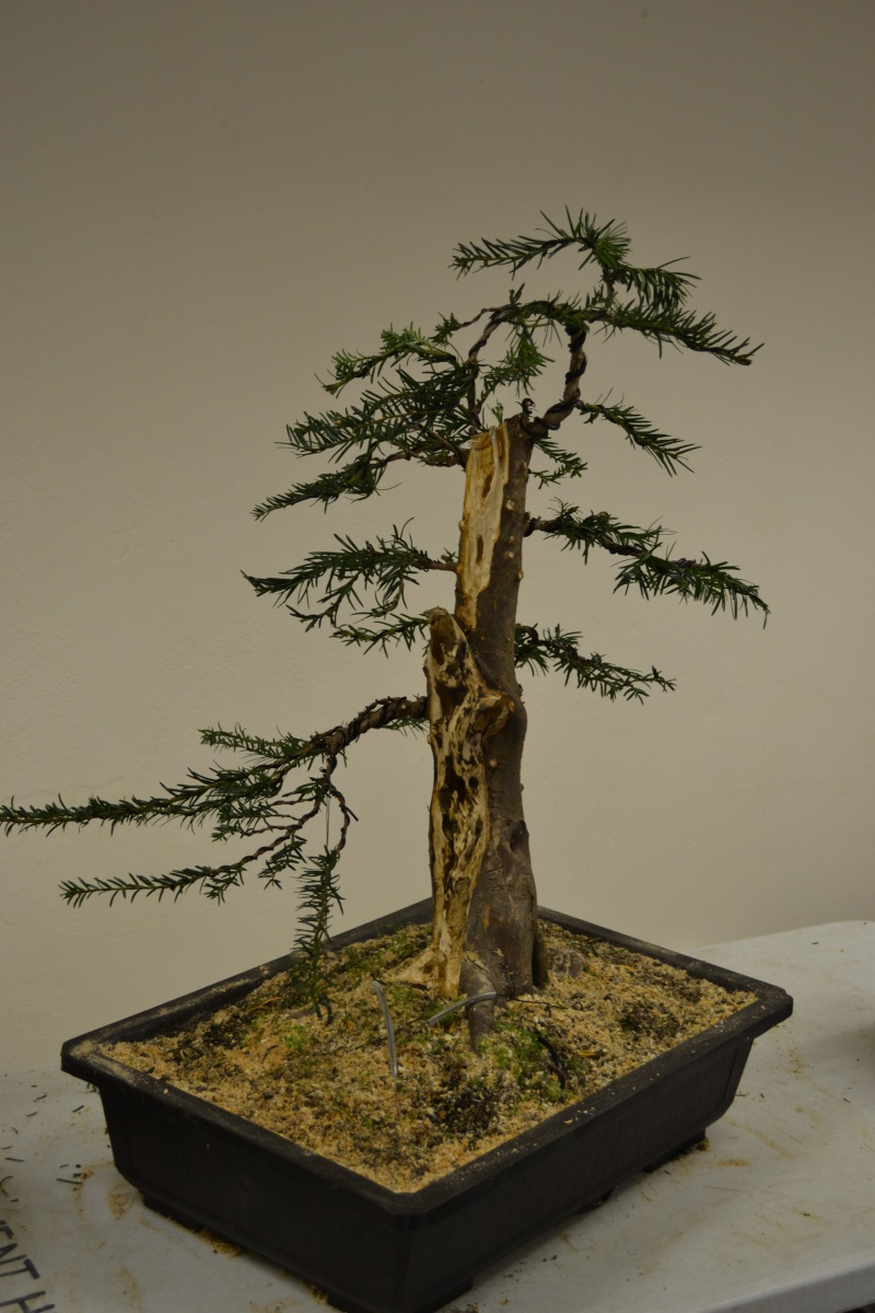Yew Tree Progress Wiring Bonsai A Year On And Christmas Gave Me Some Time To Do More Work The I Like Carving Think Will Have Front So That