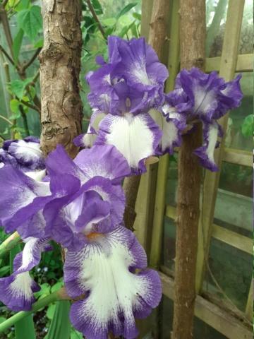 Iris ' Rococo' [Identification]  20210511
