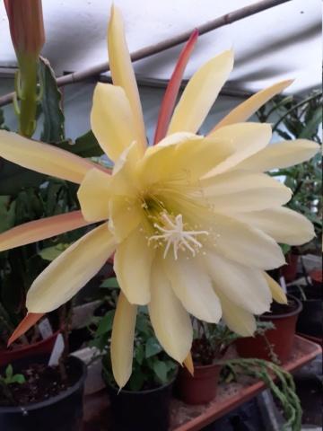 Identification  d'un Epiphyllum 20210513