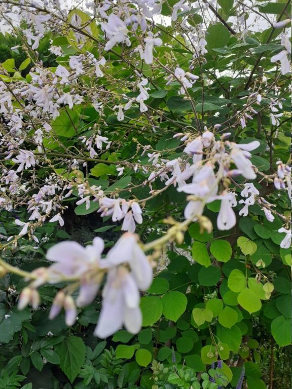 Desmoduim tiliaefolium - [identification] 20210710
