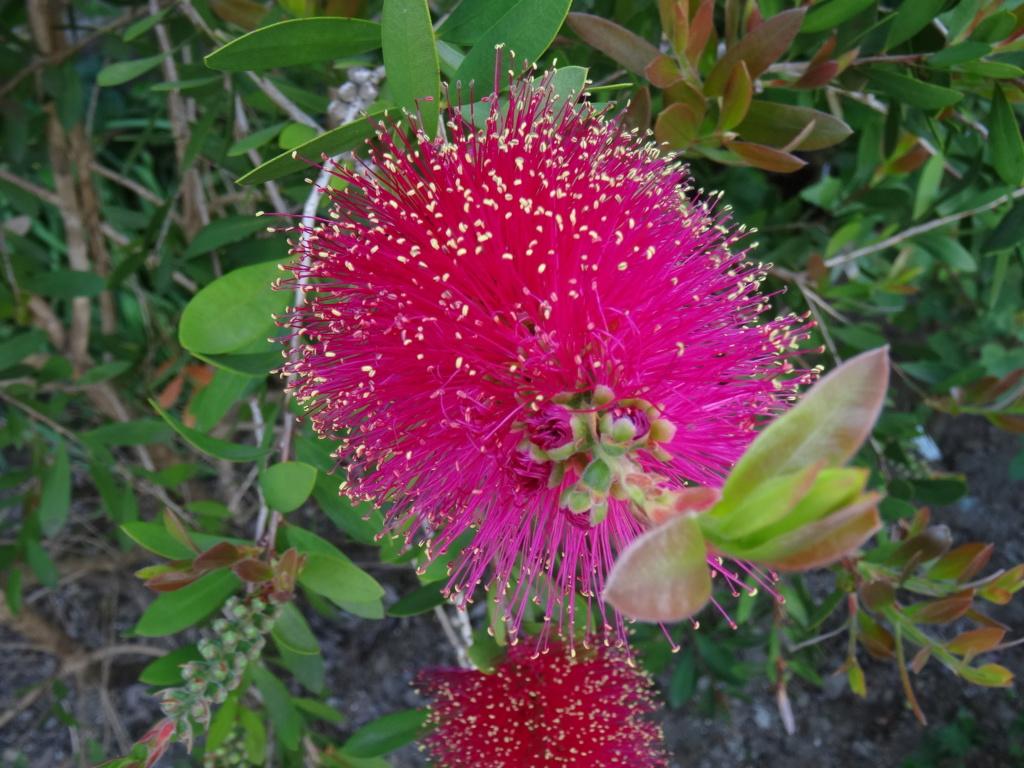 Callistemon 'Hot Pink' [identification] Dsc00812