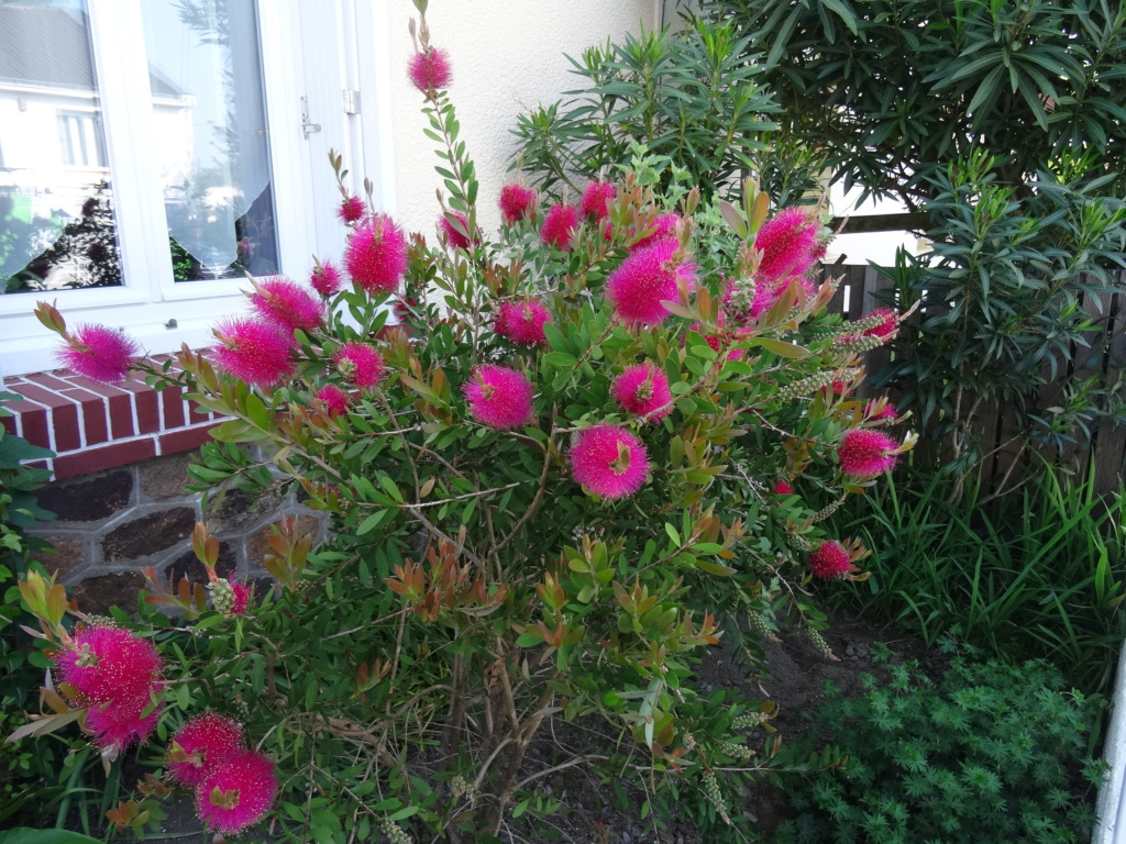 Callistemon 'Hot Pink' [identification] Dsc00813