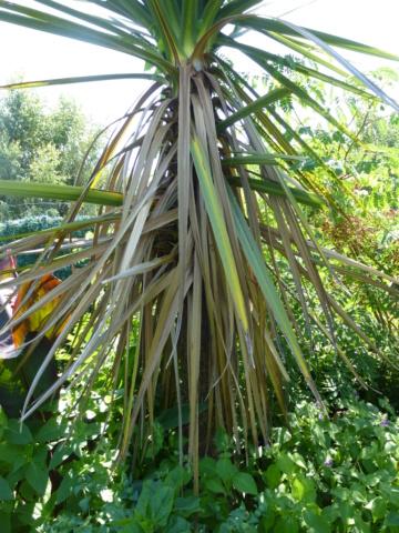 Cordyline australis P1030712