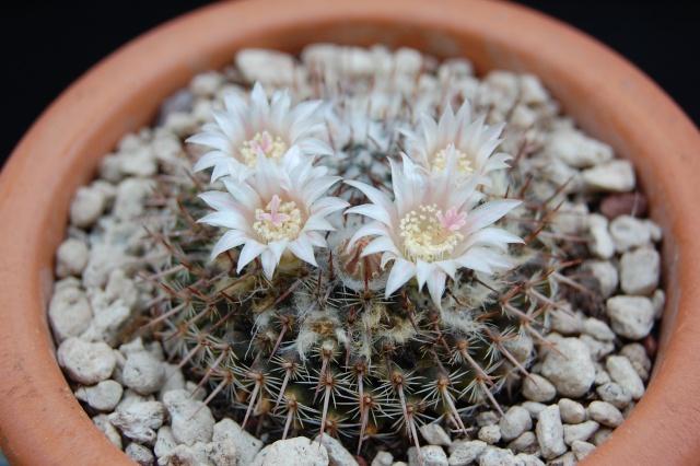 Mammillaria roseoalba Lau1170 - for Maurillio 2454-210