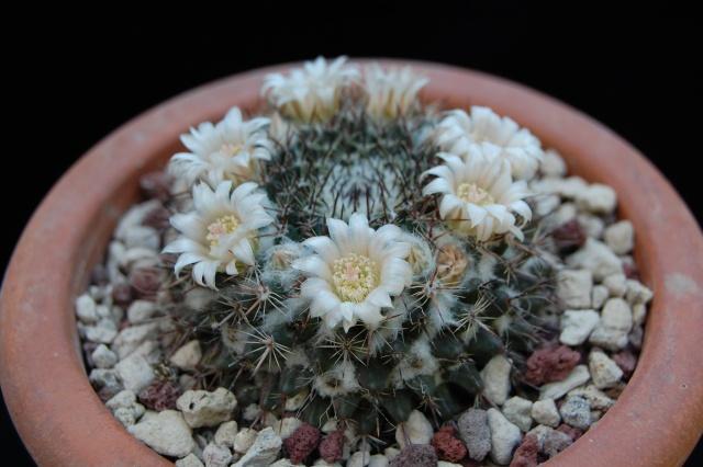 Mammillaria roseoalba Lau1170 - for Maurillio 2470-210