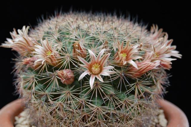 Mammillaria pachycylindrica ( Backeberg ) 2484-p13
