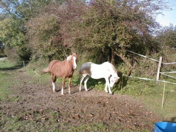 TRIVOLITE dite TULIPE - poney née en 1985 - adoptée en mai 2012 par Malou50 Tulipe11