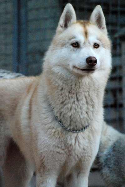 Perdue ou volée chienne husky: AIDEZ MOI SVP  DECEDEE Dsc_0010