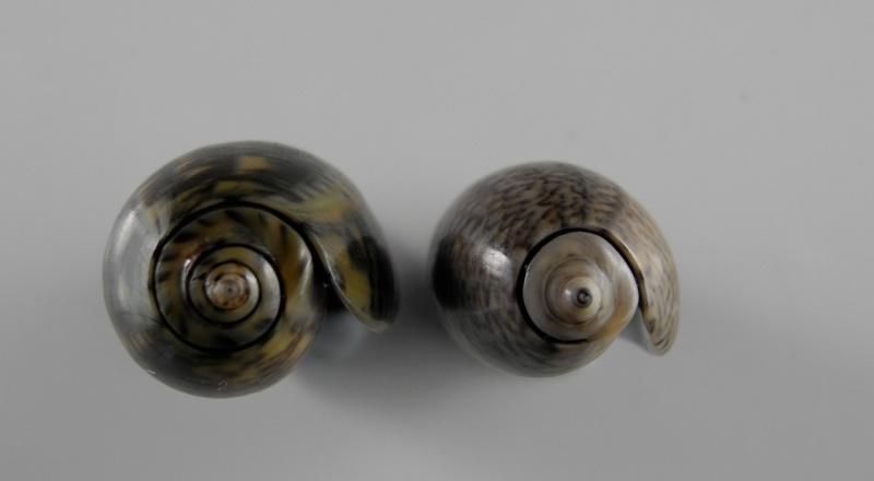 Carmione lecoquiana (Ducros de St Germain, 1857) - Worms = Oliva lecoquiana Ducros de Saint Germain, 1857 Dscn1913