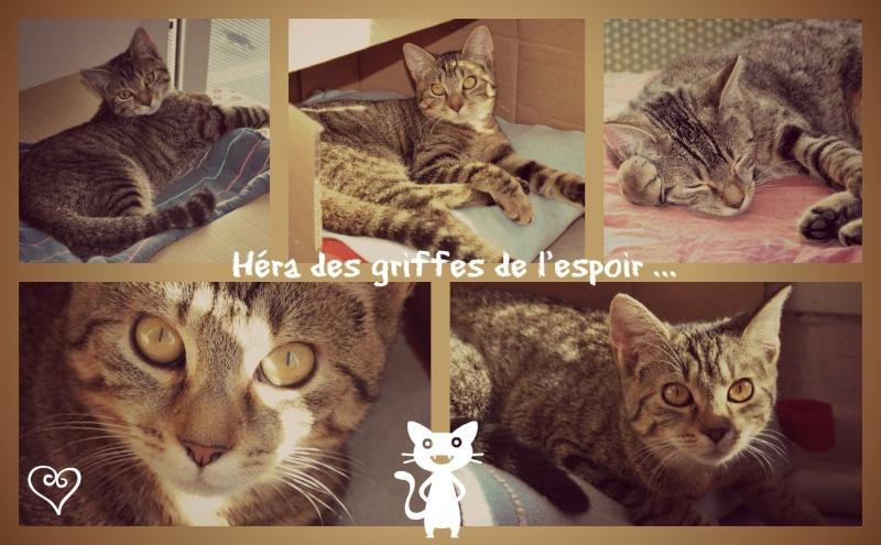 Héra beau chaton tigrée, née le 14 mars 2012 - HENIN BEAUMONT 2_hera10
