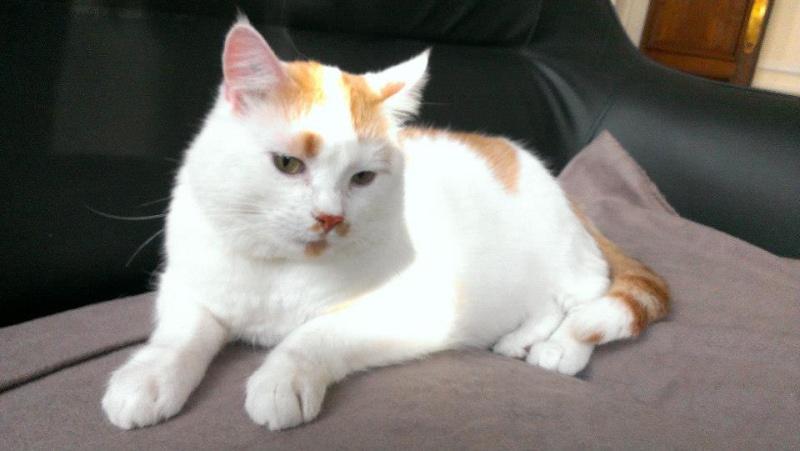 [ADOPTION] Caramel , chat roux et blanc, beau et câlin - SAINT AMAND LES EAUX Carame10