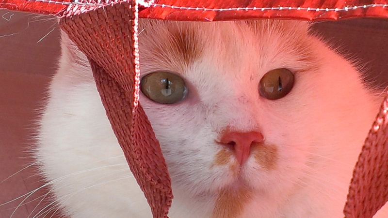 [ADOPTION] Caramel , chat roux et blanc, beau et câlin - SAINT AMAND LES EAUX Imag1911