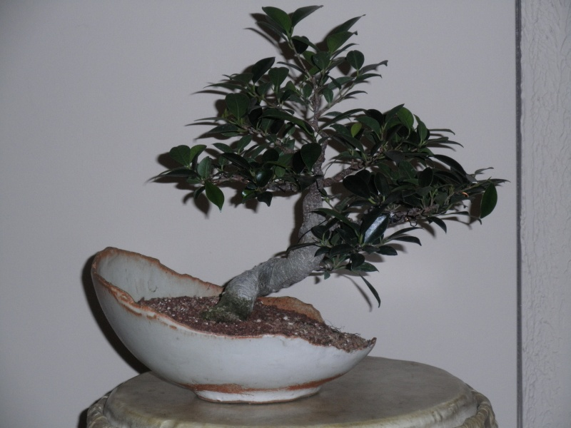 Ficus microcarpa questions... Pc180010