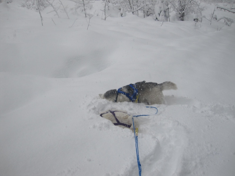 Ski-joering avec deux huskies 416