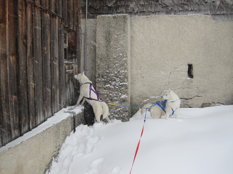 Ski-joering avec deux huskies 619
