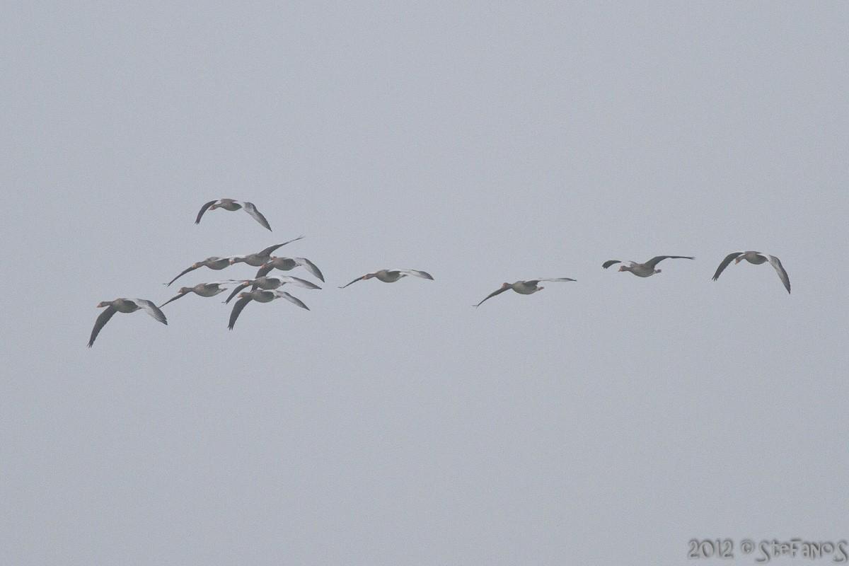 twelve geese still present Img_4910